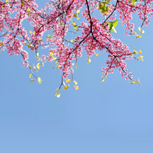Branches Of Tree Eastern Redbud (Cercis Canadensis) In Blossom With Pink Flowers On Blue Sky At The Background.