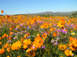 canvas print picture - Bloom of flowers in the Namaqualand desert in South Africa