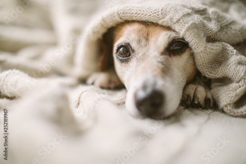 Obraz Dreamy thoughtful relaxed sad dog look under the blanket. Lovely cute dog face. - fototapety do salonu