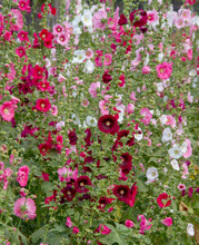 Cluster Of Colorful Hollyhocks