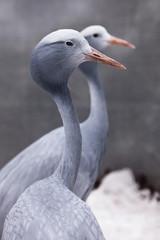 Blue crane graceful bird close up, thin long neck, beautiful head on a blurred background