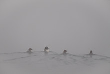 Four Goldeneye Ducks (one Male, Three Female) Swimming Away On A Hazy Morning, All Looking Right, Elter Water, Lake District, UK