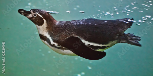 Fotobehang Pinguin Slender penguin swims in turquoise water, with bubbles. underwater