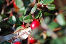 Zwergmispel (Cotoneaster) - Ro...