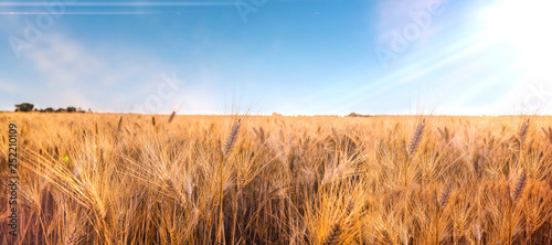 Fotografie, Obraz  Spighe di grano pronte per il raccolto e la produzione di farina integrale
