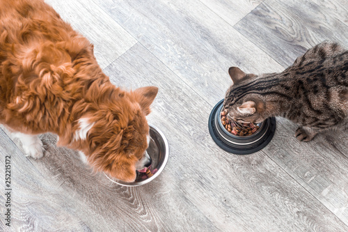 Photo sur Toile Chat dog and a cat are eating together from a bowl of food. Animal feeding concept