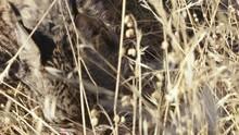 Iberian Lynx Eating
