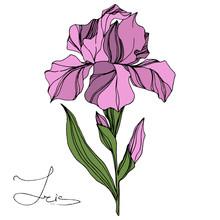 Vector Pink Iris Floral Botanical Flower. Engraved Ink Art. Isolated Iris Illustration Element.