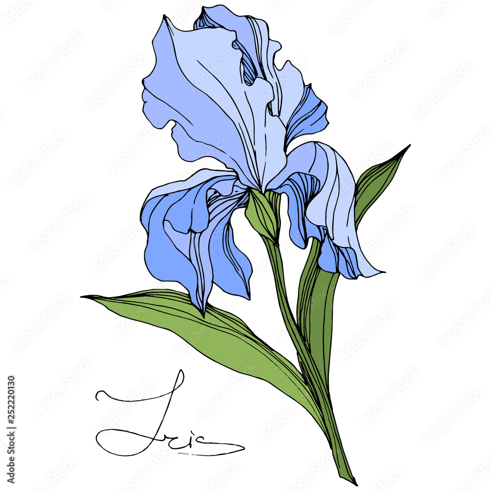 Fototapeta Vector Blue Iris floral botanical flower. Engraved ink art. Isolated iris illustration element.