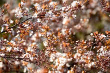 The Beginning Of Flowering Cherry Tree. Opening Wonderful Tender First Flowers. Artistic Photo. Selective Soft Focus.