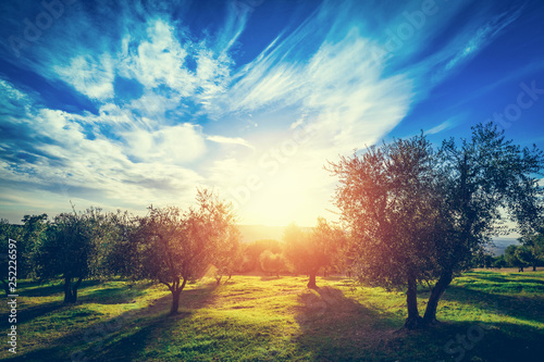 Olive trees in Tuscany, Italy. Tableau sur Toile