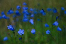 Harebell, County Donegal, Ulster, Republic Of Ireland