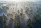 Fototapeta  - Aerial shot of foggy forest at sunrise. Flying over pine trees early in the morning.