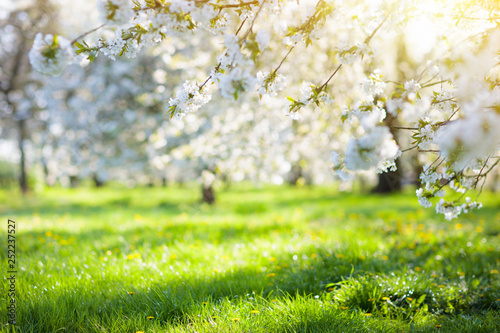 Poster Printemps Blooming cherry blossom tree garden in spring.