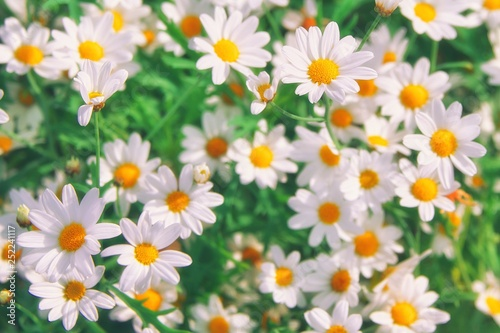 Papiers peints Marguerites Field of camomiles blooming at sunny day at nature. Camomile daisy flowers beautiful bouquet, light field flowers, medical healthy chamomile flowers, spring day. Green wildflower garden environment