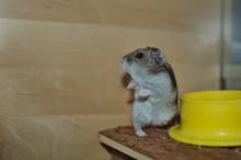 Russian Female Hamster In Her ...