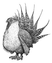 Greater Sage Grouse Illustration, Drawing, Engraving, Ink, Line Art, Vector