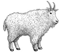 Mountain Goat Illustration, Drawing, Engraving, Ink, Line Art, Vector