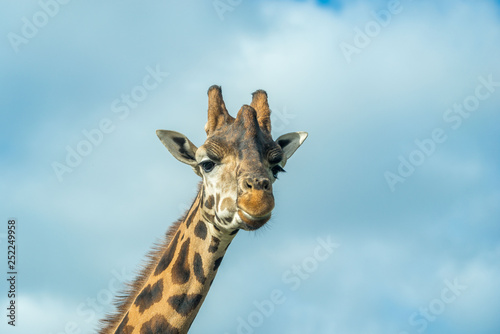 looking up at a giraffe with cloudy sky background Canvas Print