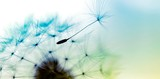Fototapeta Dmuchawce - dandelion on blue background