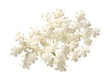 Dolde Von Weißen Holunderblüten