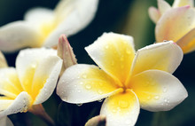 White Frangipani Flowers With ...