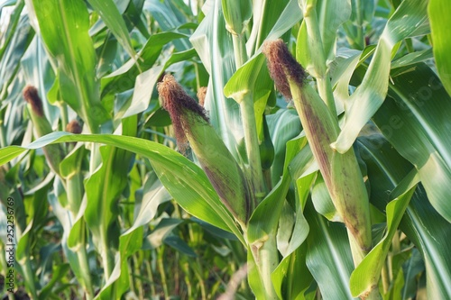 Photo Field corn planting crop in fruiting stage, traditional agriculture concept