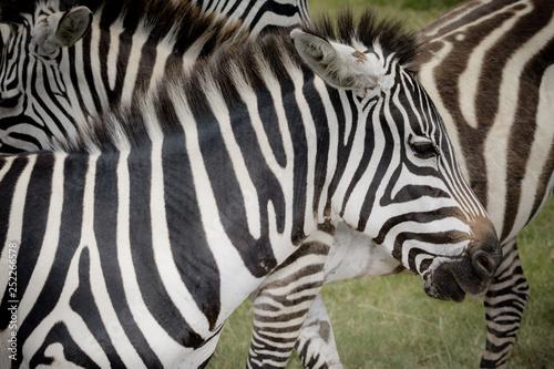 Closeup of Zebra in the wild