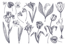 Vector Collection Of Spring Flowers. Hand Drawn Floral Elements Set. Botanical Illustrations Of Tulips, Crocus, Freesia, Iris, Narcissus, Snowdrops, Cyclamen. Garden And Forest Plants Outline Sketches