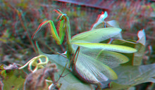 Green Praying Mantis, Predator...