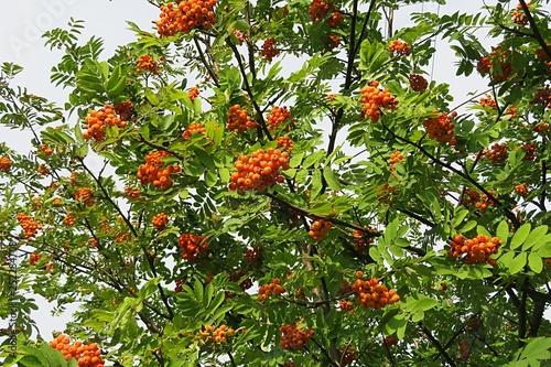 Fotografie, Obraz  Rowan berries in garden
