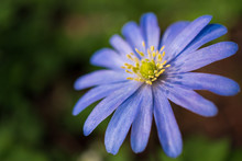 Closeup Of A Beautiful And Delicate Purple Blue Shaded Anemone Blanda, Commonly Known As Balkan Anemone, Grecian Windflower Or Winter Windflower, Under The Spring Morning Sunlight.