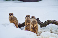Meerkat On Snow