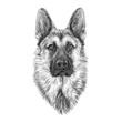 Portrait of German Shepherd Dog.