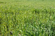 Field Of Uncut Grass