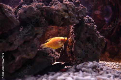 Fotografie, Tablou  Popular marine aquarium fish.