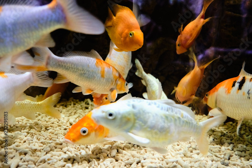 Fotografie, Tablou  Popular marine aquarium fish.