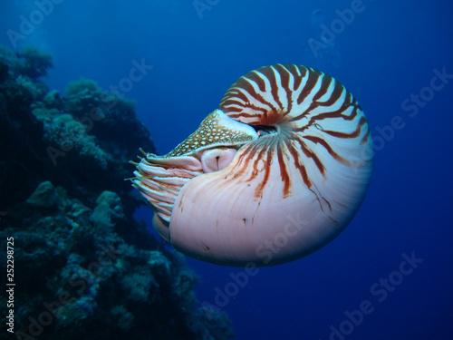Fotografie, Obraz  Incredible underwater world - Nautilus pompilius