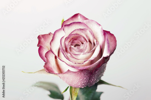 Fotobehang Roses Single beautiful pink rose isolated on white