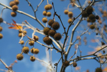 Plane Tree Fruit On A Branch