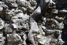Root In Ancient Stone Wall. Bu...