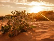 The Desert Thorns At Sunset. D...