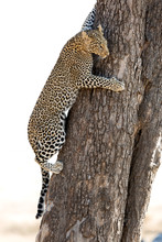 A Juvenile Leopard Trying To Come Down The Tree At Masai Mara, Kenya