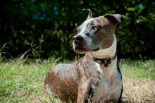 Close Up Of Pit Bull In Field