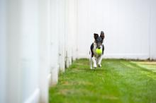 Dog Fetches Tennis Ball