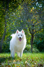 Happy Samoyed Stands In Park