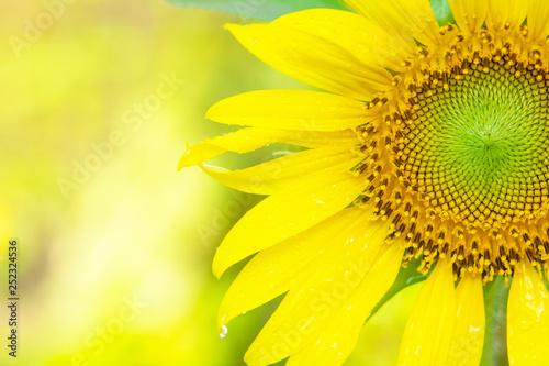 Foto auf Gartenposter Gelb Schwefelsäure Beautiful sunflowers with sunlight in tha garden.