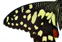 Half Of Papilio Demoleus On A White Background. Motley Black And Yellow Butterfly. Macro.