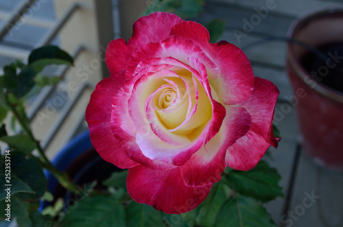 two-tone pink and white rose