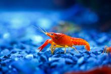Beautiful Red Crayfish In Blue Aquarium